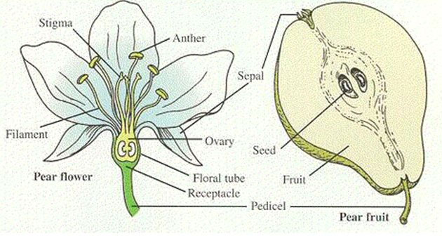 Formation-of-Fruit