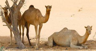 ऊँट पर निबंध: Hindi Essay on Camel