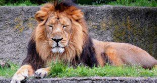 जंगल का राजा: शेर पर निबंध - Hindi Essay on Lion