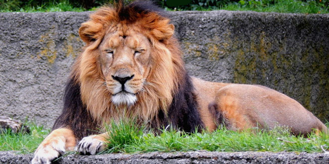 hindi essay on lions Best answer: the lion is the second largest feline species, after the tiger the male lion, easily recognized by his mane, weighs between 150-250 kg (330-500 lb) the male lion, easily recognized by his mane, weighs between 150-250 kg (330-500 lb.