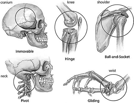 Types of joints in human body