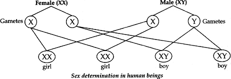sex determination in human beings