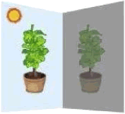 Plants kept in light and dark conditions