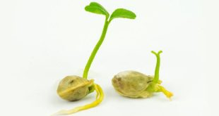 NCERT 5th Class (CBSE) Science: Germination