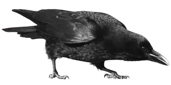 कौऐ पर निबंध: Hindi Essay on Crow