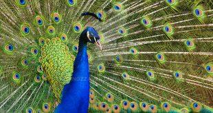 हमारा राष्ट्रीय पक्षी: मोर पर निबंध - Hindi Essay on National Bird Peacock
