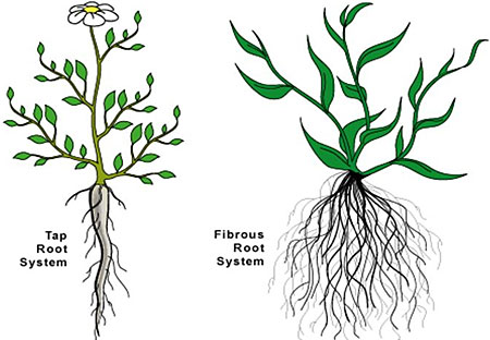 Tap root VS Fibrous root