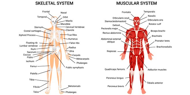 Human Muscular Skeletal Systems